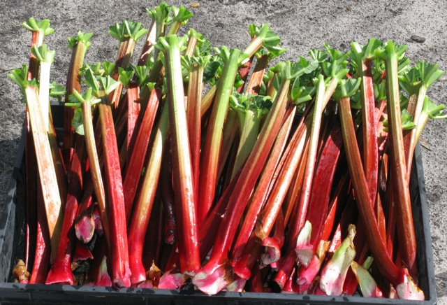 Ruby Red Heritage Rhubarb Seed