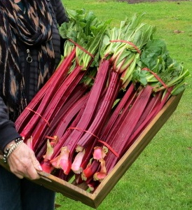 Tina's Noble Perennial Red Rhubarb Seed - Click Image to Close